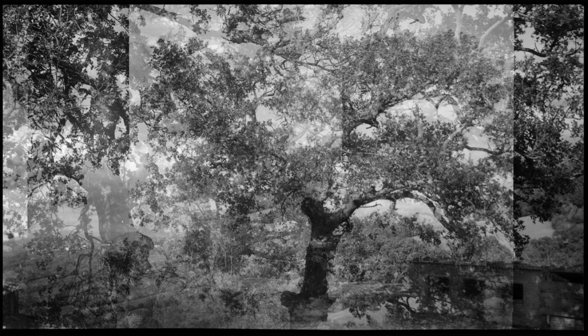 The invention of the oak